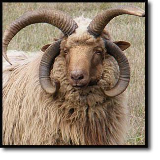 Navajo-Churro Sheep Association